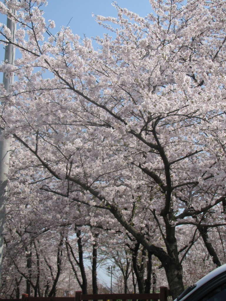 Cherry blossoms in Jinhae, South Korea