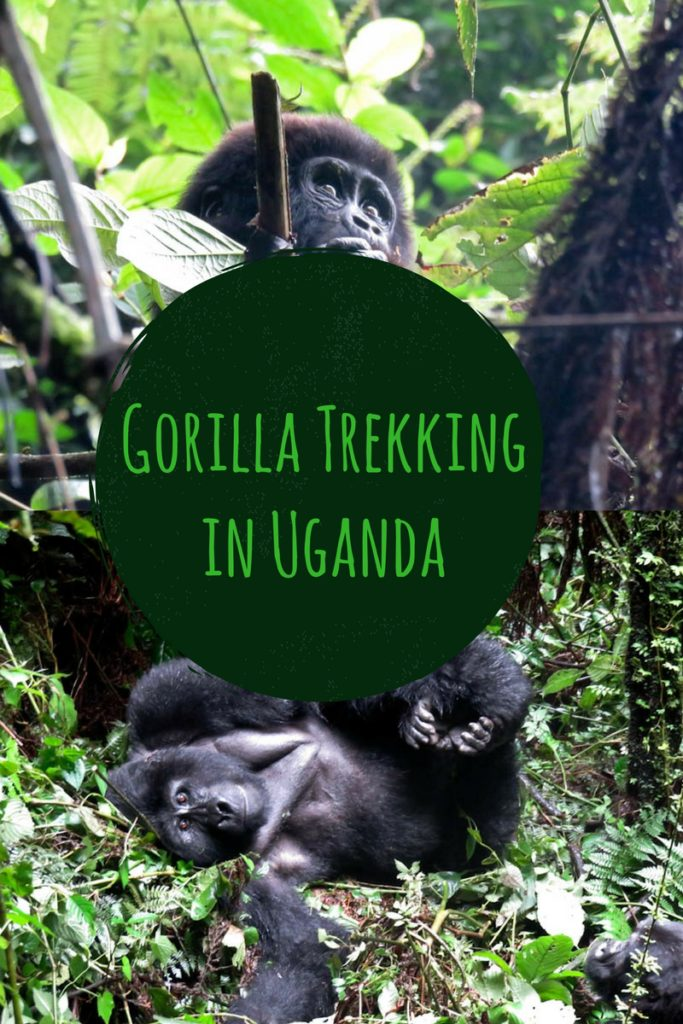 gorilla trekking pinterest