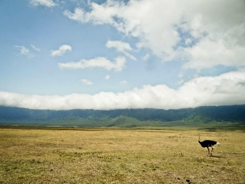 ngorongoro ostrich tanzania