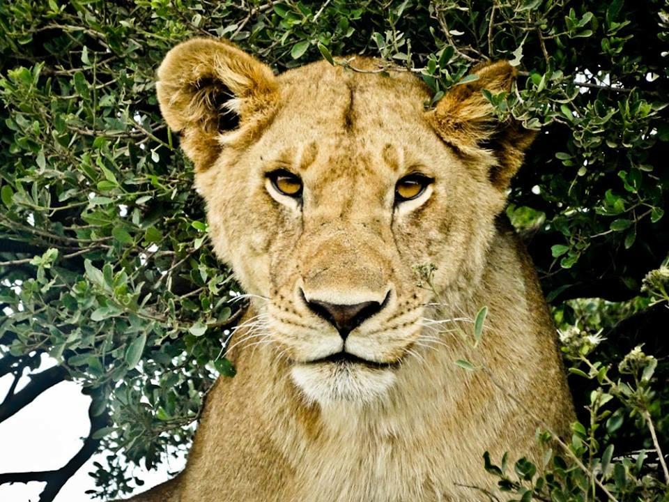 tree climbing lion lake manyara