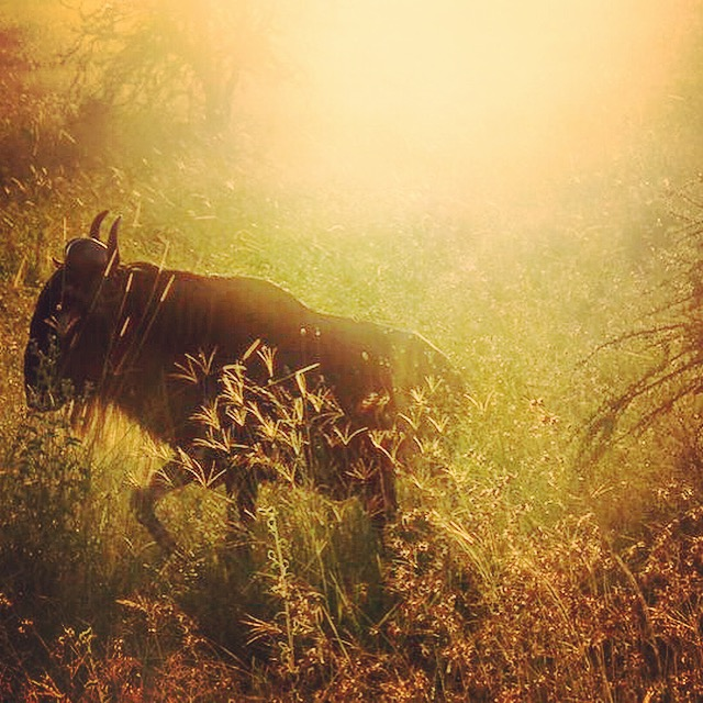 wildebeest sunrise serengeti